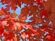 Red Leaves Photos - FALL TREE LEAVES Red Orange Autumn Leaves Blue Sky by Baslee Troutman Fine Art Collections