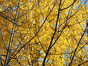 Recent Posters - Fall Trees art prints Yellow Autumn Leaves Poster by Baslee Troutman Fine Art Photography