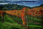 Fall Photographs Posters - Fall Vineyard Poster by Tracy Thomas