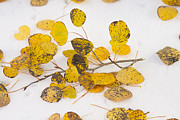 Fall Photographs Posters - Fallen Autumn Aspen Leaves Poster by James Bo Insogna