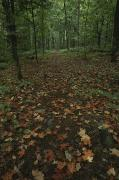 Woodland Scenes Posters - Fallen Autumn Leaves Cover A Trail Poster by Michael S. Lewis