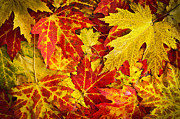 Yellow Leaves Prints - Fallen autumn maple leaves  Print by Elena Elisseeva
