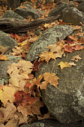 Stonewall Posters - Fallen Autumn Sugar Maple Leaves Poster by Tim Laman