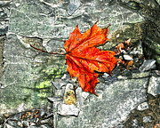 Fallen Leaf Photos - Fallen  by Diane E Berry