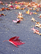 Fall Leaves Photos - Fallen by Donna Blackhall