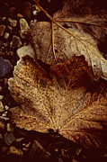 Fall Leaves Prints - Fallen From Grace Print by Odd Jeppesen