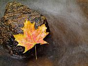Fallen Leaf Print by Jim DeLillo
