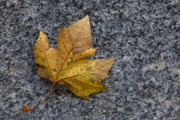 Fallen Leaf Photos - Fallen Leaf by Robert Ullmann