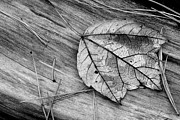 Pine Needles Photos - Fallen Leaf by Tony Ramos