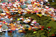Mountain Stream Photo Posters - Fallen Leaves Birch River Poster by Thomas R Fletcher