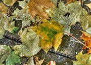 Fall Leaves Photos - Fallen Leaves by Lisa Knechtel