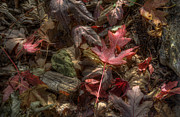 Fall Leaves Prints - Fallen Print by Scott Norris