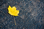 Yellow Leaf Photos - Fallen by Sebastian Musial