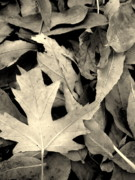 Fallen Leaf Posters - Fallen Poster by The Forests Edge Photography - Diane Sandoval
