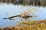 Arkansas Photo Posters - Fallen Tree Poster by Douglas Barnard