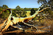 Lowlands Prints - Fallen Tree over the Marsh Print by Carol Groenen