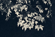 Branches Prints - Falling Stars Print by Laurie Search