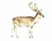 Dama Framed Prints - Fallow Deer, Artwork Framed Print by Lizzie Harper