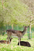 Dama Framed Prints - Fallow Deer Framed Print by Peter Wey