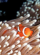 Sea Anemone Posters - False Clown Anemonefish Poster by Copyright Melissa Fiene