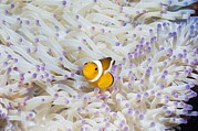 Sheltering Prints - False Clown Anemonefish Print by Georgette Douwma
