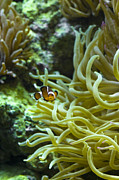 Clownfish Prints - False Clownfish Amphiprion Ocellaris Print by Todd Gipstein