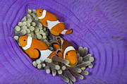 Indo-pacific Framed Prints - False Clownfish Framed Print by Franco Banfi and Photo Researchers