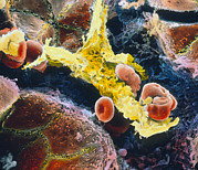 "Liver Cell Framed Prints - False-colour Sem Of Kupffer Cell In Liver Framed Print by Prof. P. Mottadept. Of Anatomyuniversity \la Sapienza"", Rome"""