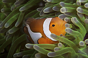 Damselfish Framed Prints - False Ocellaris Clownfish In Its Host Framed Print by Terry Moore