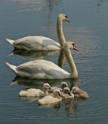 Swans... Photo Metal Prints - Family Affair Metal Print by Odd Jeppesen