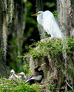 Snowy Egret Framed Prints - Family and Friend Framed Print by Lisa Scott