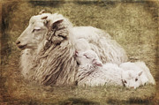 Sheep Mixed Media Posters - Family Poster by Angela Doelling AD DESIGN Photo and PhotoArt