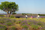 Three People Photo Framed Prints - Family biking through lavenders fields Framed Print by Sami Sarkis