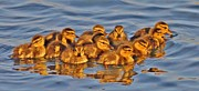 Baby Mallards Photos - Family by Cindy Fullwiler