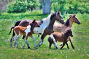Paint Foal Metal Prints - Family Jog Metal Print by Emily Stauring