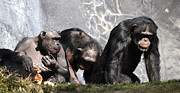 Chimpanzee Art - Family Matters by Fraida Gutovich