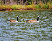 Wild Geese Prints - Family of Geese Print by Jai Johnson