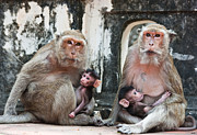 Ape Photo Originals - Family of monkeys  by Sattapapan Tratong
