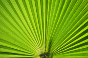 Fan Palm Framed Prints - Fan Palm  Framed Print by David Lee Thompson