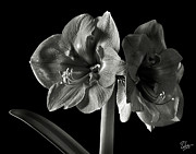 Flower Photos Posters - Fancy Amaryllis in Black and White Poster by Endre Balogh
