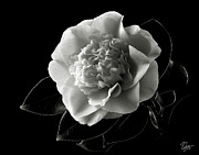 Flower Photos Posters - Fancy Camellia in Black and White Poster by Endre Balogh