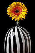 Gerbera Framed Prints - Fancy daisy in stripped vase  Framed Print by Garry Gay