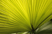 Palmettos Framed Prints - Fancy Fan Framed Print by Carol Groenen