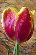 Springtime Photos - Fancy Tulip by Garry Gay