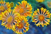 Nikon D90 Prints - Fanfare Gaillardia Print by Ronda Broatch