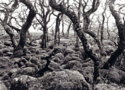Fangorn Forest Prints - Fangorn Forest Black A Tor Copse Dartmoor Print by Rachel Burch