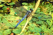 Lily Pads Framed Prints Prints - Fantasia Dragonfly Print by Sheri McLeroy