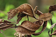 Madagascar National Park Prints - Fantastic Leaf-tail Gecko Uroplatus Print by Thomas Marent
