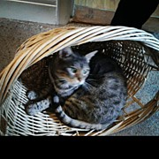 Likeaboss Art - #farley Chilling In A Basket :) #cat by Finley Lomas