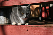 Featured Prints - Farm cat Print by Tacey Hawkins